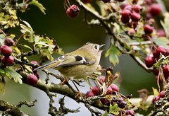Goldcrest sings! (pstone646) Tags: bird nature goldcrest tree wildlife animal high berries bokeh feathers singing fauna flora ashford kent twigs branches