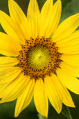 Perfect Sunflower 3-0 F LR 7-13-18 J328 (sunspotimages) Tags: flower flowers sunflower sunflowers yellow yellowflower yellowflowers yellowsunflower yellowsunflowers nature