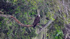 Osprey (Jim Mullhaupt) Tags: osprey fisheagle raptor bird water pond lake swamp wildlife nature landscape background wallpaper outdoor bradenton florida manateecounty nikon coolpix p900 jimmullhaupt photo flickr geographic picture pictures camera snapshot photography nikoncoolpixp900 nikonp900 coolpixp900