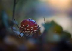 Red Riding Hood (ursulamller900) Tags: trioplan2950 fliegenpilz rotkäppchen redridinghood forest wald herbst autumn mushroom bokeh