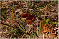 Unknown (2) (bobspicturebox) Tags: mushrooms horse head backbone honeycomb cep penny bun fly agaric blusher brittle stem false death cap knight deceiver russula forest scenes hampshire