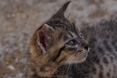 There's no reason to look back when you have so much to look forward to (@Katerina Log) Tags: look bokeh depthoffield daylight portrait pet cat kitten sonyilce6500 nature natura 105mmf28 katerinalog animal eyes life