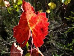 Colores otoñales (adioslunitaadios) Tags: campo otoñales hoja airelibre fujifilm macro naturaleza floramediterránea otoño