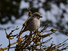 Woodchat Shrike (Robert & Pamela) Tags: birds scotland wildlife shrike rare barnsness coast