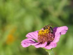 Pollen Party (louise peters) Tags: pink roze green groen zinnia flower bloem insect insekt bee bij stamen meeldraden pollen nectar stuifmeel macro makro
