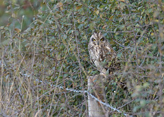 Short-eared Owl (KHR Images) Tags: shortearedowl seo short eared owl wild bird birdofprey cambridgeshire fens eastanglia asioflameus wildlife nature nikon d500 kevinrobson khrimages