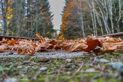 Maple Leaf Rails (Per@vicbcca) Tags: autumn shawnigan sony ilce7m2 a7ii fe24105f4goss landscape railway rails mapleleaf maple fall