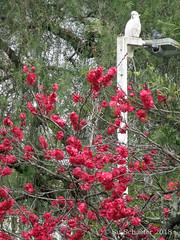 And a cocky near a blossom tree (Su_G) Tags: sug 2018 cocky cockatoo blossomtree prunus andacockynearablossomtree sulphurcrestedcockatoo sulfercrestedcockatoo blossom flowerblossom attherailwaystation sydneynsw sydneyaustralia sydneysuburbs pink deeppink nature