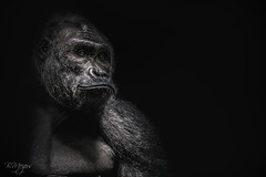 Gorilla soft tone (thanks for > 1 M. views) Tags: gorilla primate nature ape animal human canon bmeijers bertmeijers 70200mm