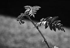 greyscale (EllaH52) Tags: branch twigs leaves bokeh macro minimalism greyscale monochrome blackwhite