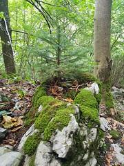 Wilderswil scenes 131 (SierraSunrise) Tags: europe switzerland wilderswil stone mossy seedling spruce