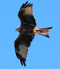 Red Kite (jdathebowler Thanks for 2.7 Million + views.) Tags: redkite birdofprey