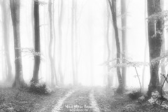 Path to the light (Mimadeo) Tags: forest fog trees tree foggy path luminous misty mist beech trunk trunks landscape light mystery mysterious ethereal gloomy black white blackandwhite spooky bare nature wood woods fantasy dreamy magic beautiful bright morning scene background park mood moody atmosphere atmospheric sunlight