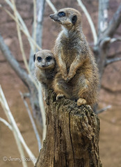 Changing the Guard (JKmedia) Tags: meerkat boultonphotography chesterzoo 2018