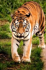 Walking Tiger 3-0 F LR 9-16-18 J117 (sunspotimages) Tags: animal animals nature wildlife zoo zoos zoosofnorthamerica tiger tigers nationalzoo fonz fonz2018