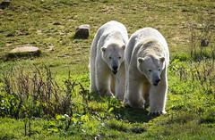 Follow the Leader (littlestschnauzer) Tags: polar bears bear white endangered species ywp friends pair duo yorkshire wildlife park 2018 autumn nature animals large grassland walk walking together male boys