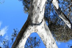 Scribbly Gum....or.. one armed tree monster... (Riley-Dobe) Tags: gum scribblygum australia bark trunk d500 70200 funny unusual sky leaves bushland
