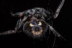 Nuctenea umbratica or angry bear  HAPPY HALLOWEEN (Procrustes2007) Tags: spider nuctenea nucteneaumbratica walnutorbweb arachnid arachtober macro humour nikond50 sudbury suffolk uk