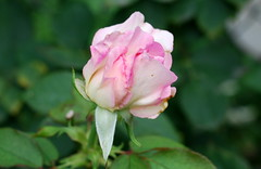 Groß, Gott, sind deine Gaben (amras_de) Tags: rose rosen ruža rosa ruže rozo roos arrosa ruusut rós rózsa rože rozes rozen roser róza trandafir vrtnica rossläktet gül blüte blume flor cvijet kvet blomst flower floro õis lore kukka fleur bláth virág blóm fiore flos žiedas zieds bloem blome kwiat floare ciuri flouer cvet blomma çiçek