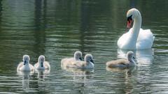 Early morning swim (JKmedia) Tags: 2018 llanfairfechan cygnets swans lake fluffy boultonphotography sonyrx10iii wildlife nature wales northwales conwy cuteness cute snowdonianationalpark