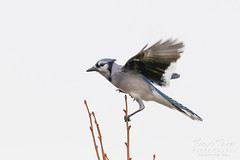 Blue Jay holding on tight