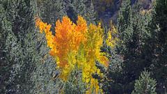 Aspen Glow - 896 (simpsongls) Tags: pines aspen yellow forest sierra mountains tree wood