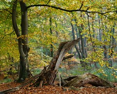 Uralt (Petra Runge) Tags: baum trees wald forest woodland darss mecklenburgvorpommern nationalparkvorpommerscheboddenlandschaft herbst autumn