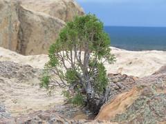 juniper (hounddiggity) Tags: newmexico elmalpiasnationalmonument juniper sandstone
