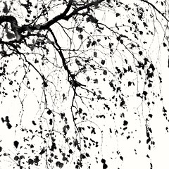 Impression (Stefano Rugolo) Tags: stefanorugolo pentax k5 pentaxk5 ricohimaging helios44258mmf2 helios442 helios impression abstract monochrome bluetit bird foliage branches autumn blackandwhite birch tree