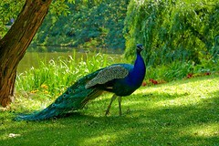 Beautiful-Birds-Peacock (lisa_pria221) Tags: bird birds beauty birdlovers beautiful animals santa animalslovers christmas christmas18 christmas2018 christmasiscoming