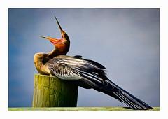Anhinga (George McHenry Photography) Tags: birds shorebirds anhinga snakebird southcarolina southcarolinabirds huntingtonbeachstatepark