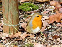 Mon petit copain de l'étang du Sépey (Jean-Daniel David) Tags: oiseau passereau rougegorge grosplan feuille mousse sol forêt bois étang cossonay suisse suisseromande vaud réservenaturelle nature rouge piquet herbe