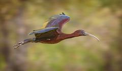 lagoon creek - glossy ibis (Fat Burns ☮ (gone bush)) Tags: glossyibis plegadisfalcinellus ibis bird australianbird waterbird fauna australianfauna dotterel nikond500 nikon200500mmf56eedvr nature outdoors lagooncreek barcaldine queensland australia outback ildlife australianwildlife