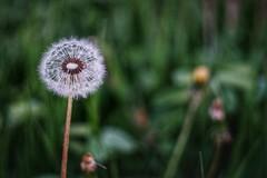 Dandelion at sunset. (Boros Balázs Mókus) Tags: dandelion flower nature sunset helios helios442 manuallens lowlight bokeh manualfocus mirrorless f2 helios44258mmf2