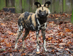 Standing proud (Schwanzus_Longus) Tags: african captive dog duisburg enclosure german germany hunter skilled wild zoo animal canine mammal