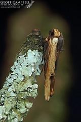 Red sword-grass (Xylena vetusta) (gcampbellphoto) Tags: red swordgrass xylena vetusta moth insect macro nature wildlife north antrim ballycastle gcampbellphoto animal outdoor depth field