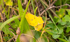 7K8A7909 (rpealit) Tags: scenery wildlife nature weldon brook management area orange sulphurs mating butterfly