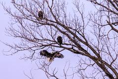Sunset Park Friday (114berg) Tags: 07dec18 bald eagles sunset park marina mississippi river rock island illinois