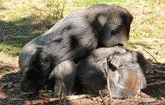 western lowlandgorilla Mintha and BaoBao Apenheul 094A1798 (j.a.kok) Tags: ape apenheul aap animal africa afrika mammal zoogdier dier primate primaat monkey mensaap mintha baobao westelijkelaaglandgorilla westernlowlandgorilla lowlandgorilla laaglandgorilla gorilla silverback zilverrug