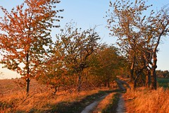 cherry tree avenue (JoannaRB2009) Tags: path alley avenue road trail tree trees cherry nature sunset goldenhour autumn fall landscape view lowersilesia dolnyśląsk polska poland
