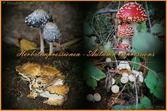 Autumn impressions - Herbstimpressionen (Noodles Photo) Tags: herbstimpressionen autumnimpressions collage pilze mushrooms leaves blätter forest wald farben colorful canoneos7d ef24105mmf4lisusm deutschland germany nrw northrhinewestphalia nordrheinwestfalen