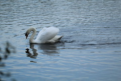 Mute Swan (DV Nature Pictures) Tags: mute swan watermead country park leicestershire uk 17 october 2018 birds nature wildlife lakes outdoors ornithology rspb bto birdtrack
