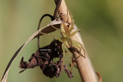 Dolomedes juvenile (Phil Arachno) Tags: germany spider arachnida chelicerata arthropoda hessen mönchbruch dolomedes