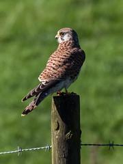 Kestrel (Maria-H) Tags: kestrel falcotinnunculus glossop highpeak derbyshire peakdistrict uk olympus omdem1markii panasonic 100400
