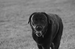 Bruno (shortscale) Tags: hund bruno labrador blackandwhite noiretblanc monochrome schwarzweiss