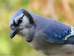 Blue Jay (NaturewithMar) Tags: blue jay bird closeup autumn 2018 nikoncoolpix b700