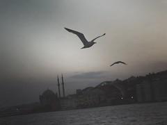Istanbul (maryduniants) Tags: seabird birds whitegull seagull gull laridae mosque sea blackandwhite istanbul turkey