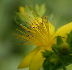 (Kaska Ppp) Tags: nature naturephotography natura natur flower flowers flora flowersphotography fleur floral yellow bokeh macro macrophotography macromonday macromondays