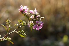 Sügisaster (Jaan Keinaste) Tags: pentax k3 pentaxk3 eesti estonia loodus nature lill flower sügis autumn sügisaster aster