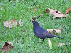 Merle noir (chriscrst photo66) Tags: bird animal oiseau merle noir parc nikoncoolpixp900